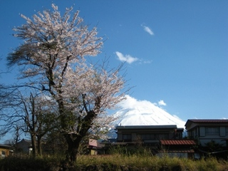 Fujisakura04.JPG